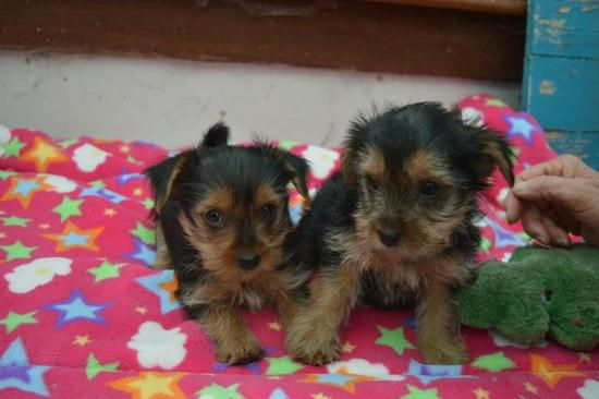 SEXY AKC YORKIE PUPPIES FOR SALE       678-881-4735, Dallas