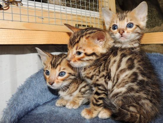 Adorable bengal kittens for adoption