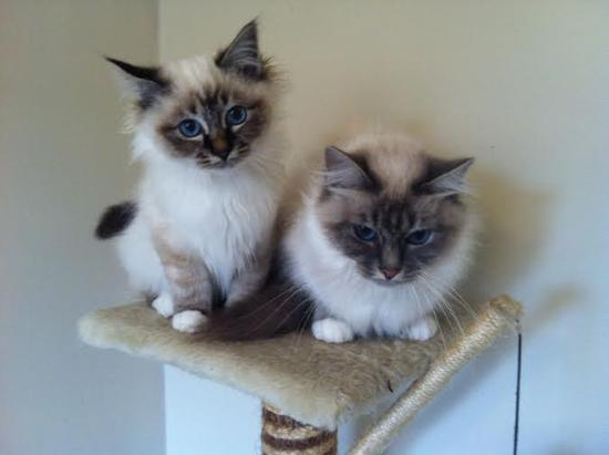 extraordinarily beautiful Birman kittens now reduced to looking for a good home   (302) 583-2587