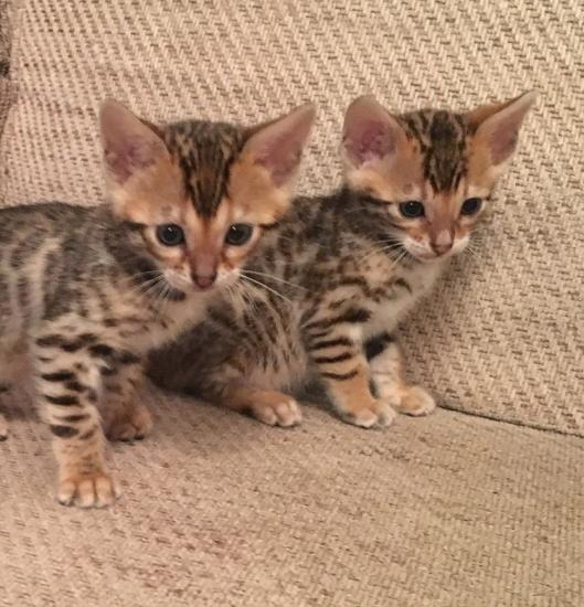 Two adorable Bengal kitten looking for a good and caring home (302) 583-2587