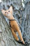 Абиссинские котята шоу класса