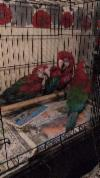 Hand Reared Very Tame Baby Greenwing Macaw