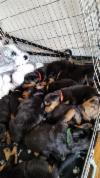 Cute male Rottweiller puppies for a caring home